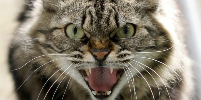 chat enragé